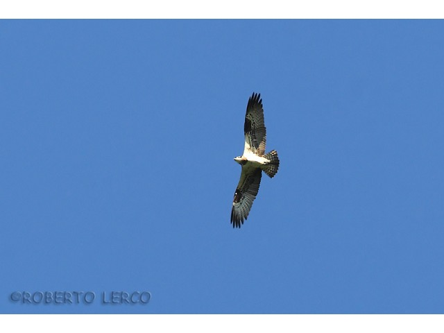 Falco_pescatore_Pandion_haliaetus