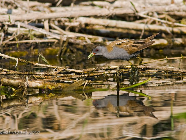 Little-Crake1
