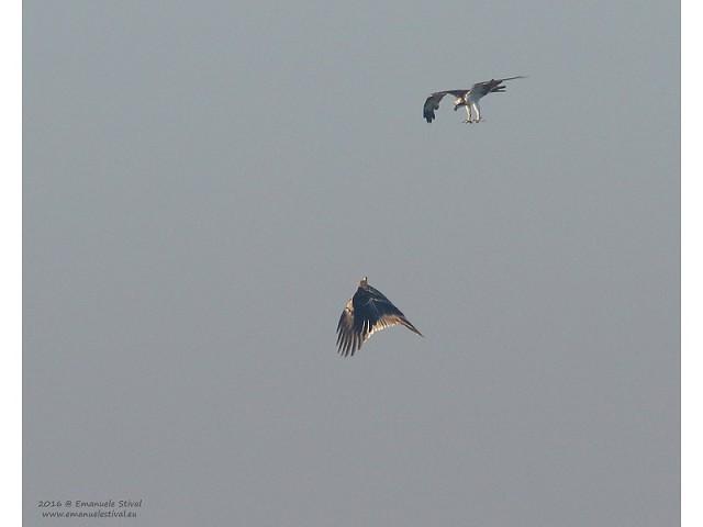 Aquila imperiale mobbata da falco pescatore