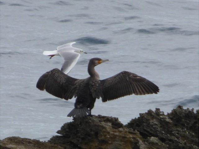 Cormorano e gabbiano comune