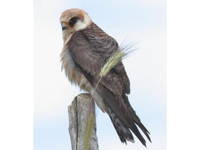 Falco cuculo,Tarquinia (VT)