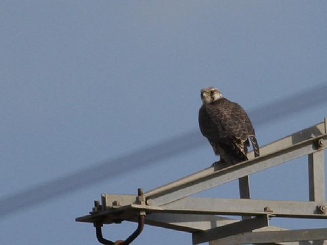 Falco pellegrino calidus