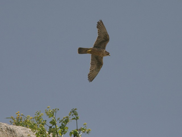 Lanner, adult male, Western Sicily, April 2009