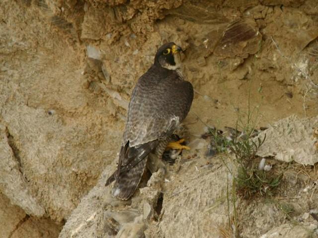 Falco peregrinus brookei, female, adult - Agrigento - Foto: Salvo Grenci