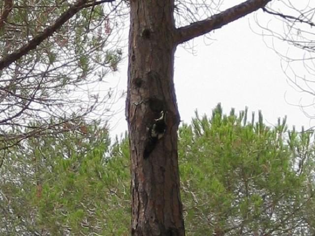 Picchio rosso maggiore di Sardegna