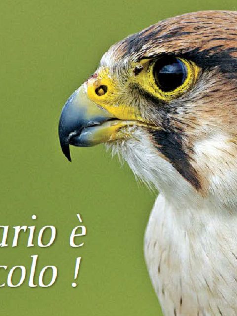 Threatened Lanner Falcon in Italy